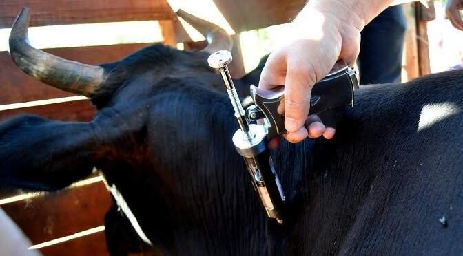 Animal sendo imunizado contra febre aftosa (Foto: Divulgação)