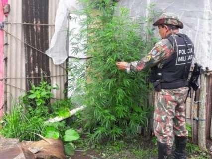 PMA investiga desmatamento e encontra pés de maconha em chácara