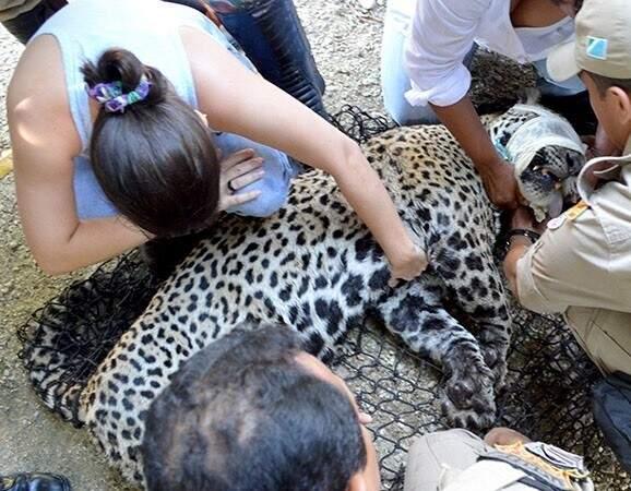 Onça-pintada fêmea morreu após cair no rio (Foto: Diário Corumbaense)