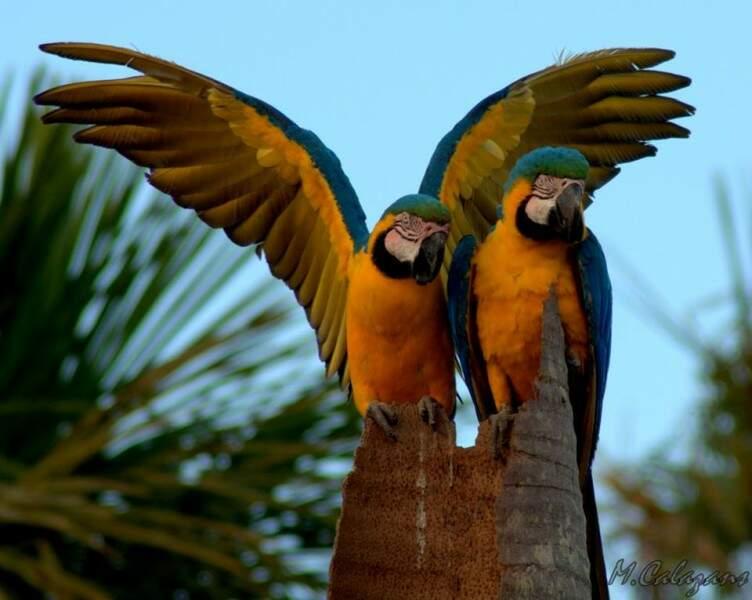 O mesmo casal de araras da espécie canindé, já foi fotografado pelo fotógrafo Marcelo Calazans.(Foto: Marcelo Calazans)