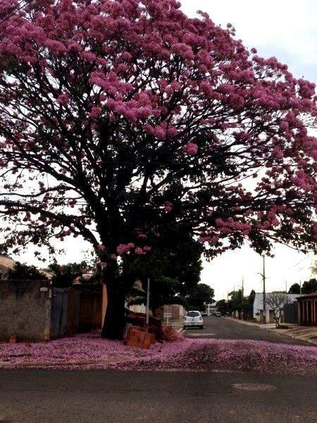 Ipê totalmente florido forma tapete rosa no chão, umas das imagens que mais marcam a época de florada. (Foto: Lucimar Couto)
