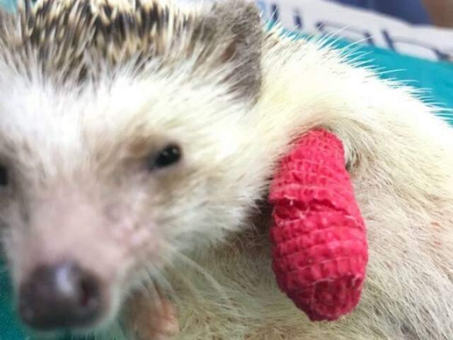 Porco Espinho Espinhosa depois de ser tratada e receber tala rosa em clínica (Foto: Arquivo Pessoal)