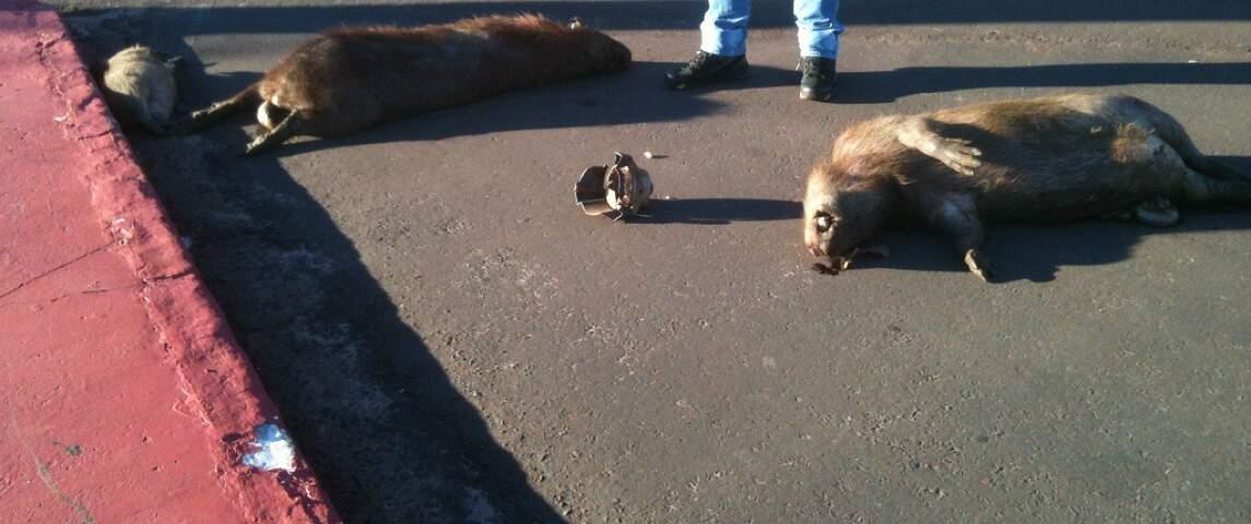 Na madrugada da última terça-feira (1º), quatro capivaras foram encontradas mortas por atropelamento.