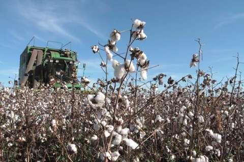 Infestação de praga dobra e preocupa produtores de algodão