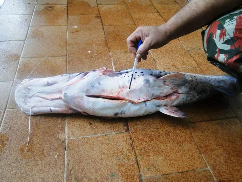 O pescado tinha marcas de terem sido capturados com acessórios proibidos (Foto: Divulgação)