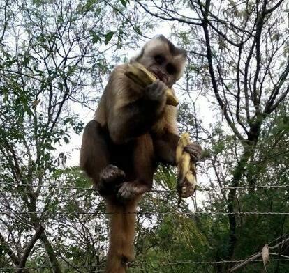 Comendo bananas os macacos comemoram a reforma da passarela ( Foto - Jânio Macedo)