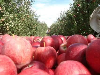 Parceria emprega indígenas de MS em lavouras de frutas do país
