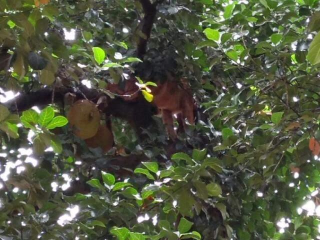 Onça em pé de jaca na Vila Rosa, região norte de Dourados (Foto: Adilson Domingos)