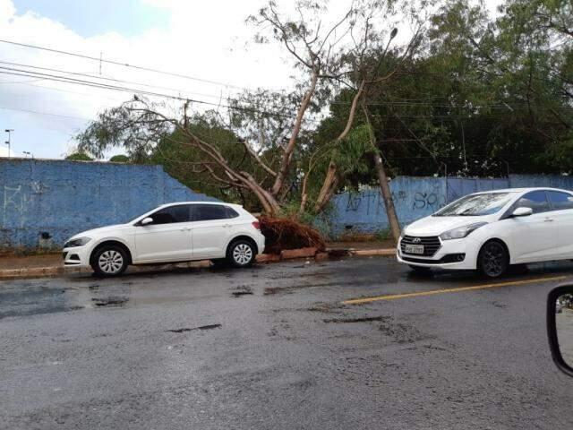 Árvore caiu sobre muro de terreno na Rui Barbosa (Foto: Direto das Ruas)
