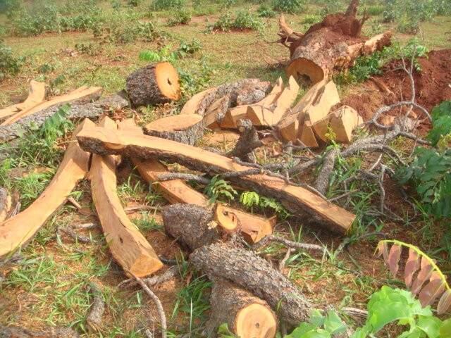 No local foram apreendidas 400 lascas de madeira. (Foto: divulgação)