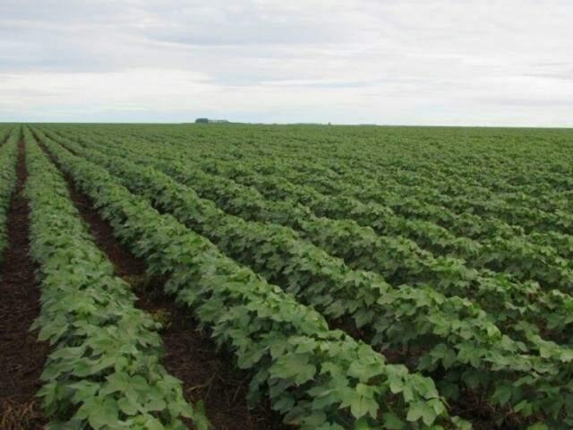 Plantação de algodão em Mato Grosso do Sul (Foto: divulgação/Ampasul)