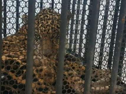 Resgatada no Pantanal, onça-pintada está internada em Campo Grande