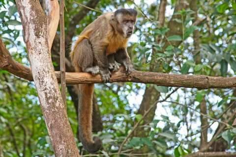 Depois das capivaras, macacos invadem ruas e dão show em bairro