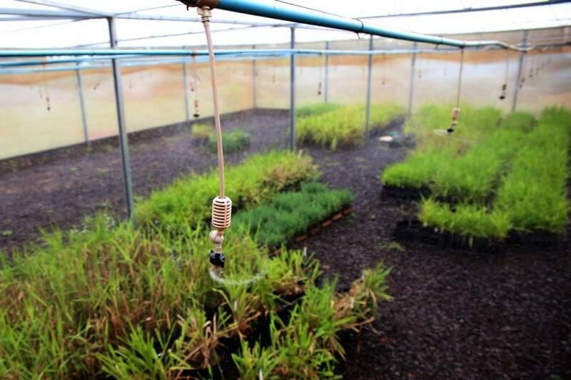 Em estufas da Embrapa Gado de Corte, cultivares são submetidas à irrigação igual a que ocorre naturalmente na natureza