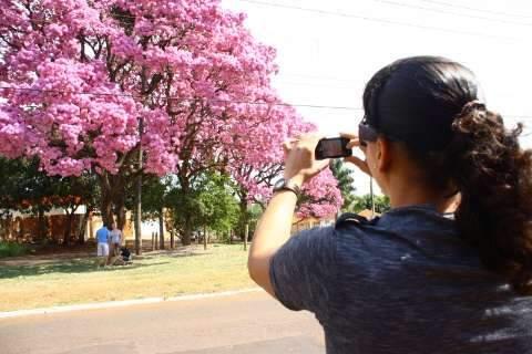 """Cinco ipês floridos na """"varanda""""... e surge uma atração na avenida Tamandaré"""