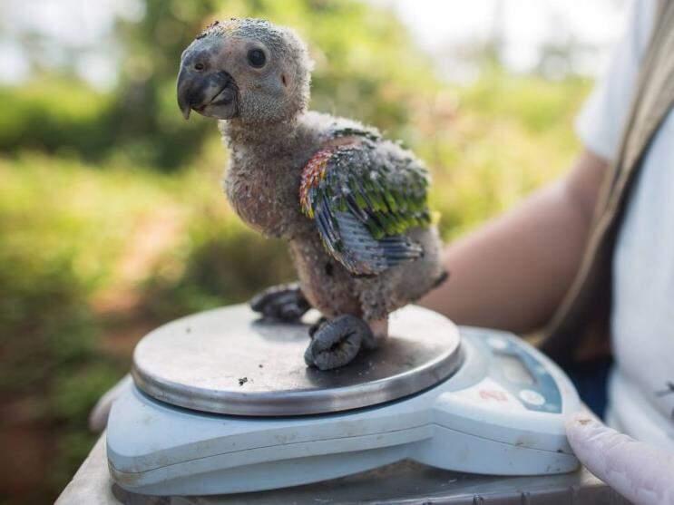 Filho de papagaio-verdadeiro apreendido durante fiscalização. Tráfico aumenta nesse período do ano. (Foto: Glácia Seixas)