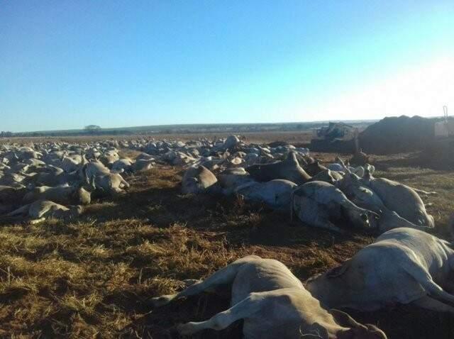 Imagem mostra o gado morto, que foi enterrado na própria fazenda (Foto: Rural News MS)