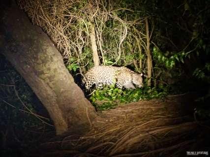 Na primeira aventura no Pantanal, amigos se emocionam ao ver onça