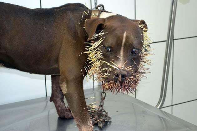 O cão teve o focinha tomado pelos espinhos do ouriço.