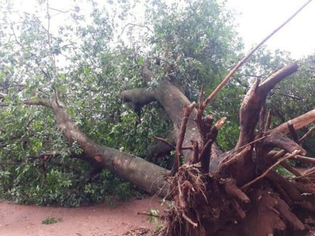 Árvores foram arrancadas pelo vento em vários bairros da cidade (Foto: Divulgação/Perfil News)