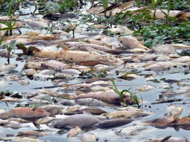Peixes de diferentes espécies, mortos no Rio Negro. (Foto: O Pantaneiro)