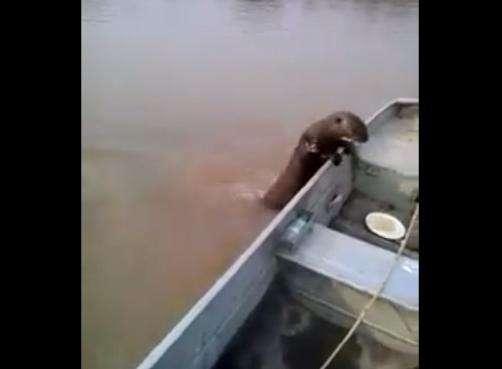 No Pantanal, ariranha invade barco e come peixes de pescador; veja vídeo