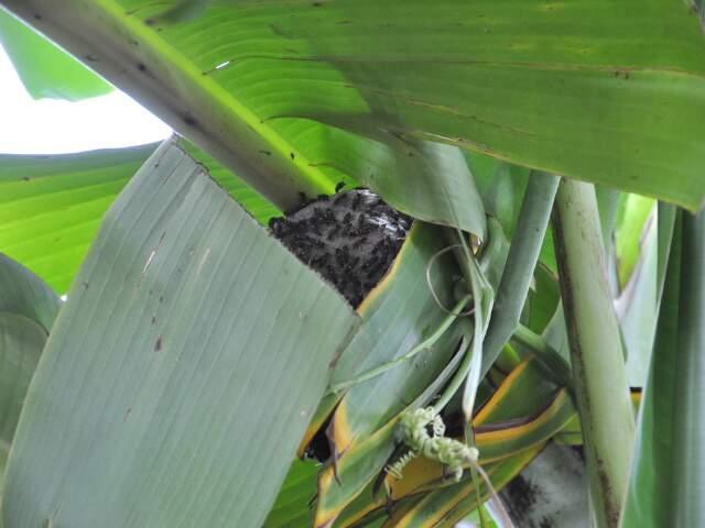 Caixa de marimbondo no pé de bananeira. (Foto: João Garrigó)