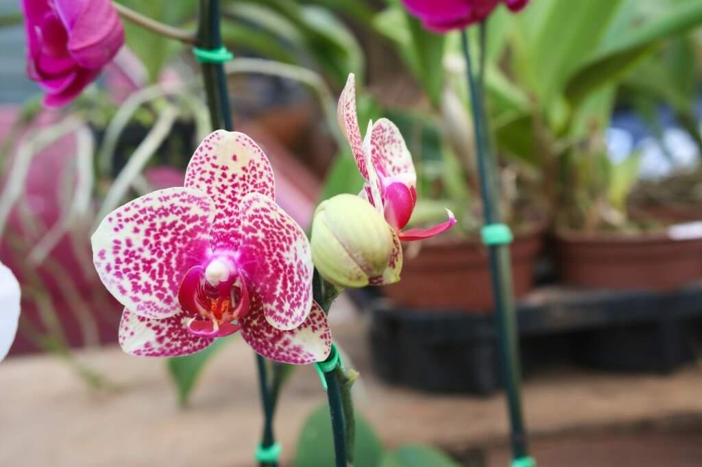 Para o vendedor de flores, apreciar as orquídeas é uma questão de sensibilidade (Foto: Paulo Francis)