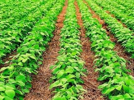 Conab estima safra recorde de soja acima de 10 milhões de toneladas em MS