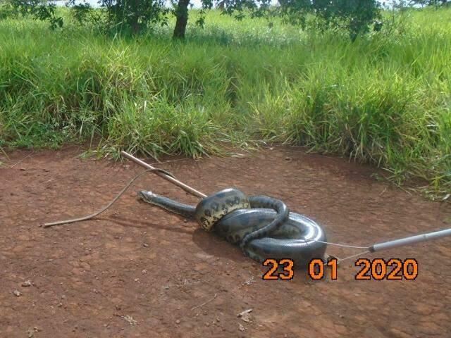 Sucuri foi capturado e solta às margens do córrego Indaiazinho (Foto: divulgação/PMA)