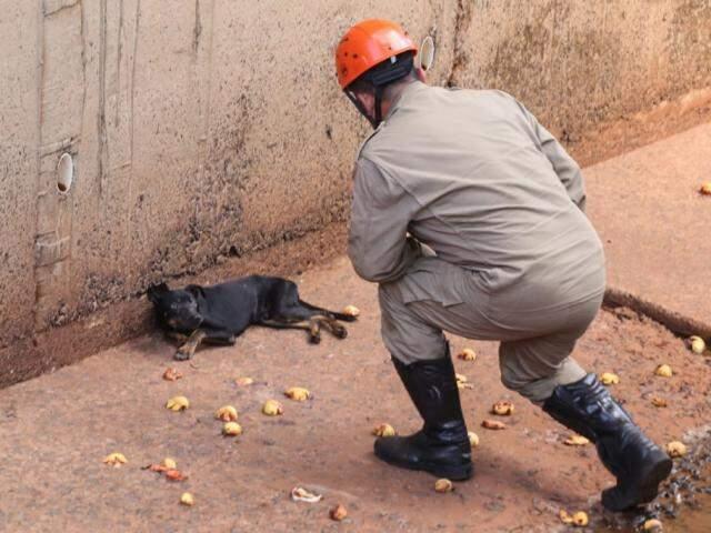Bombeiro se aproxima de cachorro, acuado, dentro do córrego Segredo (Foto: Marcos Maluf)
