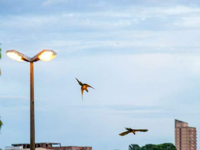 Araras voando no céu de Campo Grande no início da manhã desta quinta-feira. (Foto: Henrique Kawaminami)