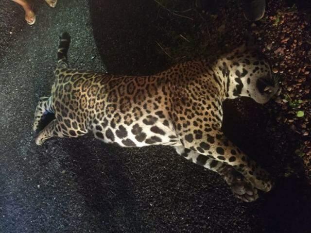 Onça foi encontrada na rodovia, com sinais de que havia sido atropela há pouco. (Foto: Divulgação PMA)