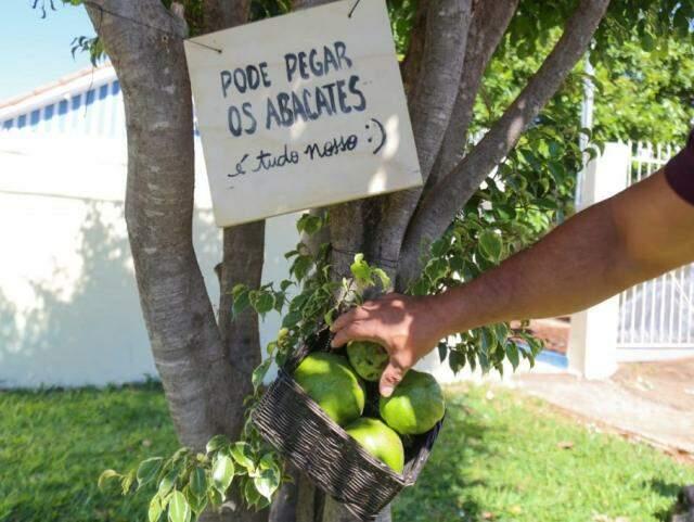 Abacates de graça na frente do ateliê (Foto: Marcos MAluf)