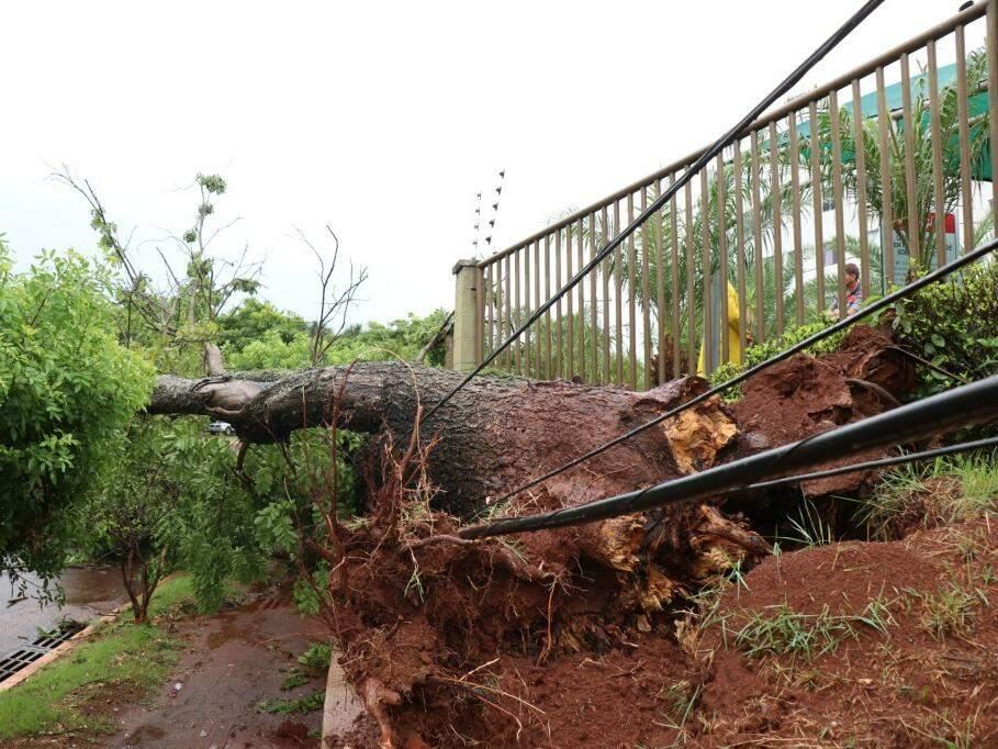 Árvore foi arrancada pela raiz e acabou com grade. (Foto: Henrique Kawaminami)