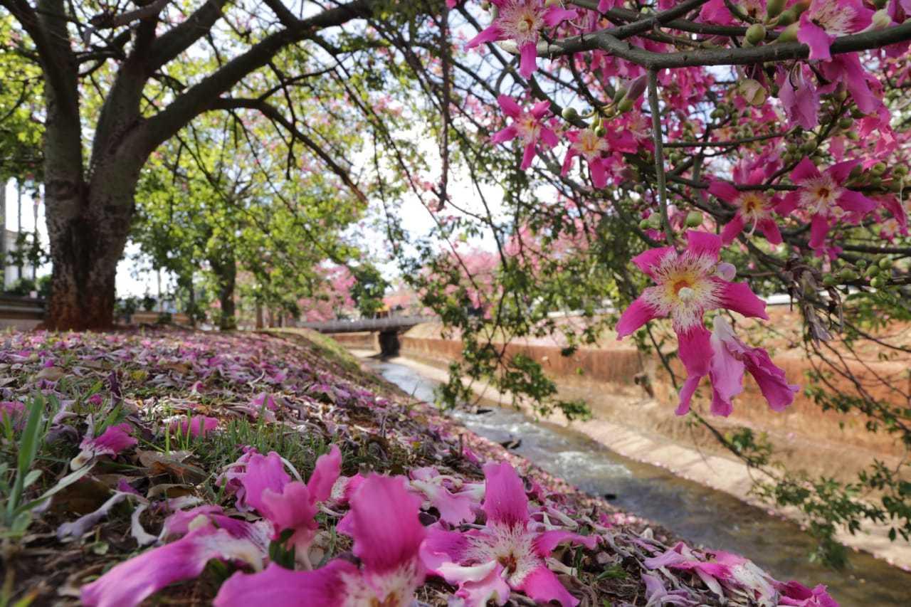 """Chão forrado de flores que caíram das """"barrigudas"""" à margem do Córrego Prosa."""