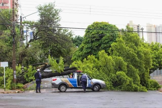 Temporal derruba sibipiruna de mais de 10 metros na Antônio Maria Coelho