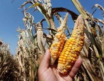 Seca pode reduzir em 28% a produção na safrinha no Estado este ano