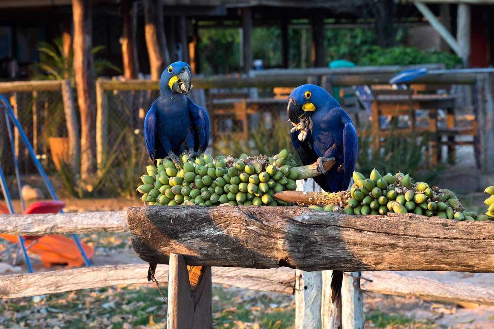 Casal de arara-azul, espécie de ave da família dos papagaios e periquitos, se alimentando em fazenda do Pantanal (Foto: Visit Pantanal/Divulgação)