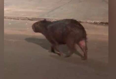 Leitor registra capivara andando em rua do Jardim Parati