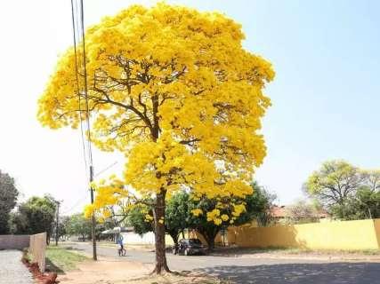 Ipê amarelo perde posto de símbolo do MS