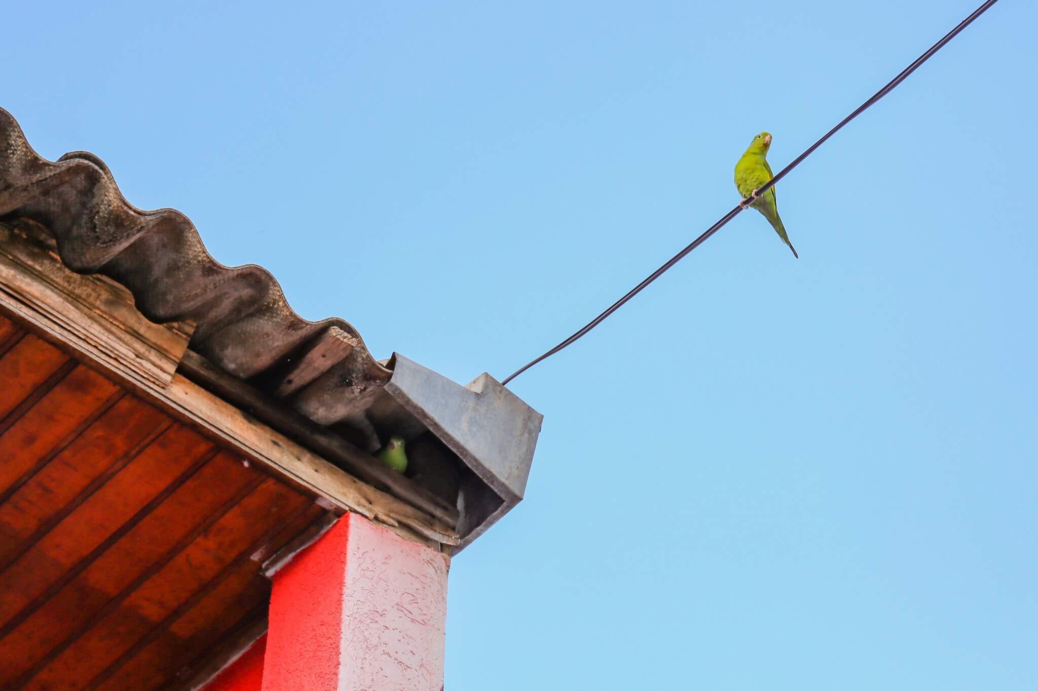 Enquanto uma maritaca observa a paisagem, outra se esconde no ninho debaixo da calha (Foto: Paulo Francis)