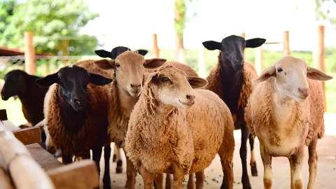 Preço da carne de ovinos cresce 6,6% em MS, segundo maior índice do país