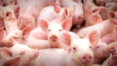 Produção de suínos em MS tem crescimento de 54% e supera média nacional
