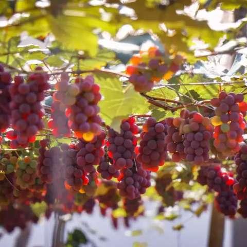 Famosa safra de uva volta a adoçar e dá para levar o quanto quiser