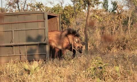Escolhido para cédula de R$ 200, lobo-guará sofre ameaça de extinção