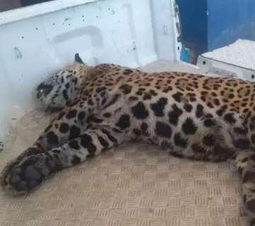 Onça-pintada é atropelada e morta em rodovia no Pantanal