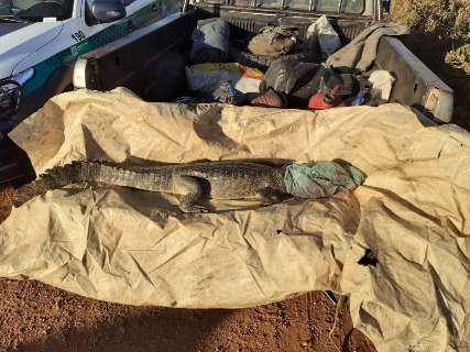 PMA de Aquidauna autua fazendeiro por caça ilegal de jacaré