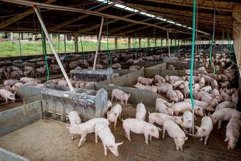 MS fecha semestre com quase 1 milhão de abates de suínos