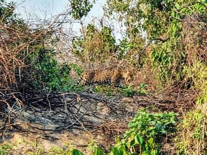 No Pantanal em chamas, urgência das onças é achar abrigo contra queimada